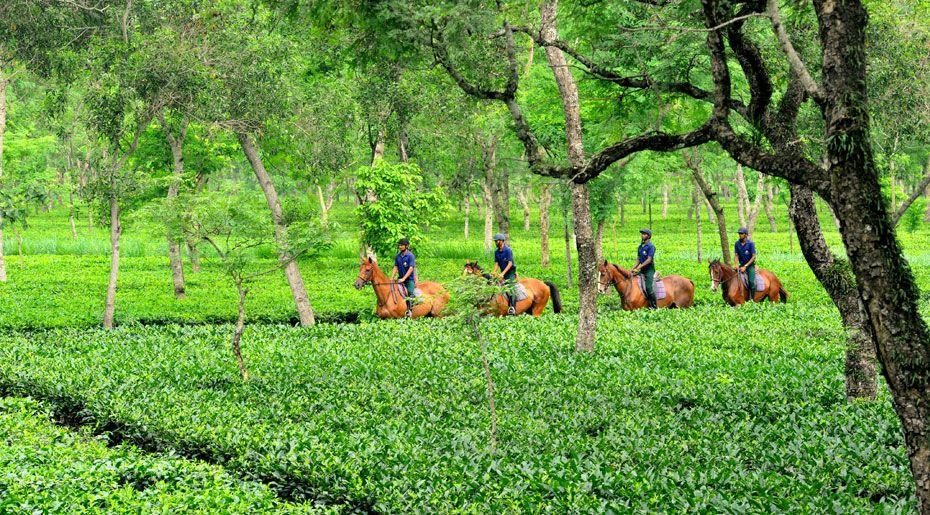 Tea Tourism in Assam