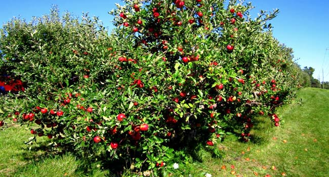 Best place to see apple orchards in Himachal Pradesh