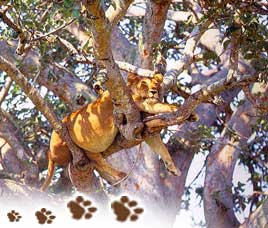 http://www.indianholiday.com/images/gir-national-park/asiatic-lions-in-gnp.jpg