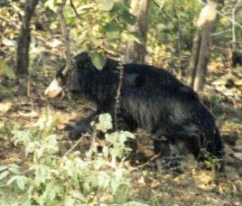Ratanmahal and Jessore Sloth Bear sanctuary Champaner, Gujarat