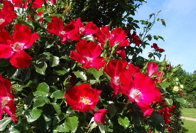 Photo Gallery of National Rose Garden- Explore National ...