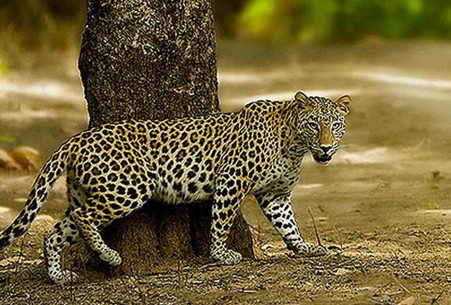 बाघों ने छीना ताज तो तेंदुओं ने बढ़ाई साख
