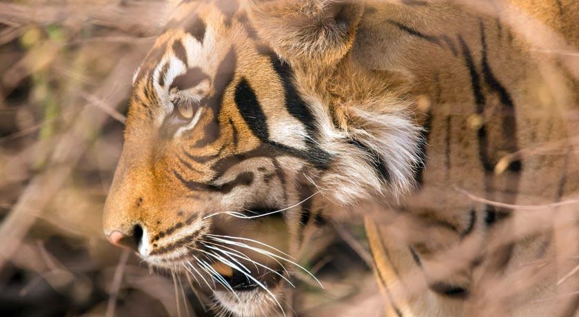 tigers-ranthambhore