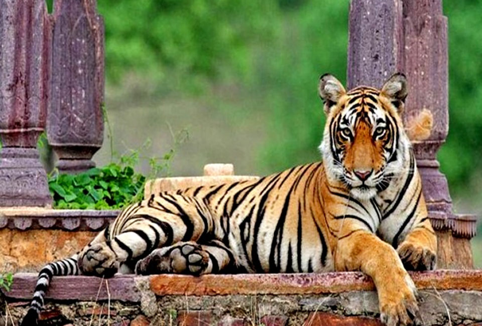 Short-escape-to-Jaipur-with-Ranthambore-tiger