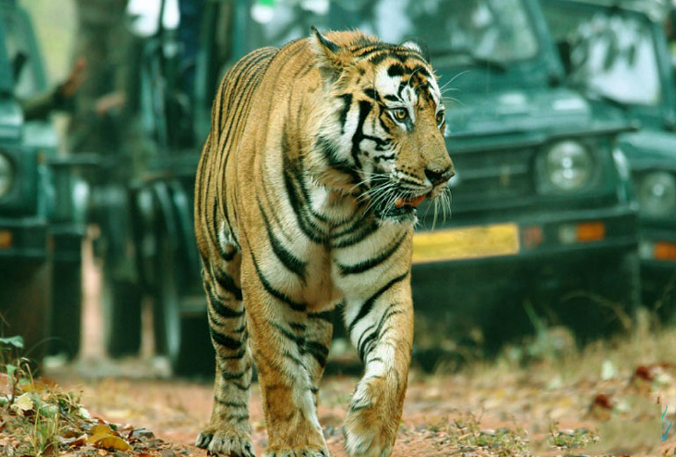 Short-escape-to-Jaipur-with-Ranthambore-tiger-2