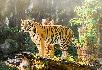 tiger at corbett