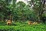 Tea Garden, Palampur