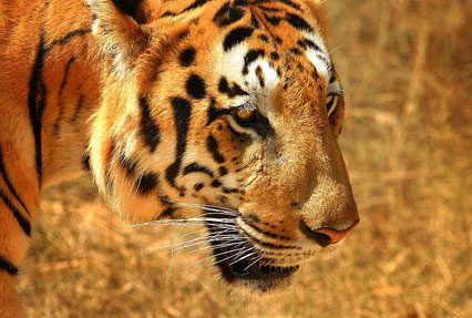 tiger in national park