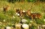 Deer in jim corbett