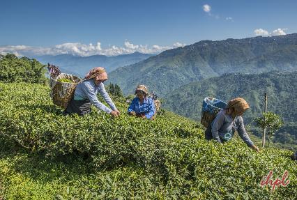 tours to tea estates