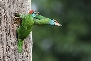Blue-Throated-Barbet