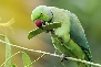 Rose-Ringed-Parakeet