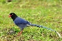 Yellow-Billed-Blue-Magpie