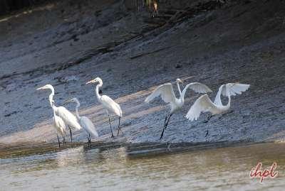 tiger at sundarban