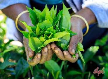 Enjoy tea plantation during 4 days tour