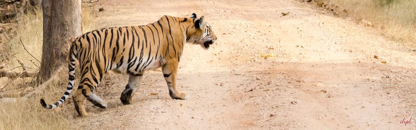 safari at Bandhavgarh