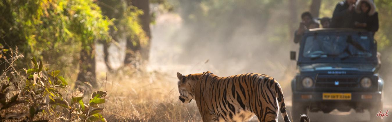 Tiger in Kanha