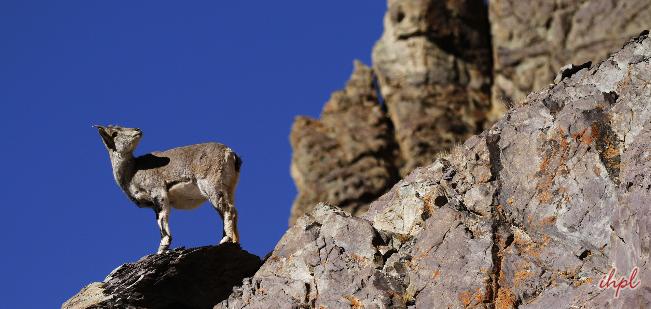snow leopard cubs great himalayan national park